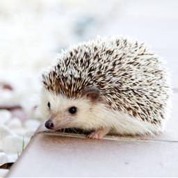 hedgehog cute hdr freetoedit