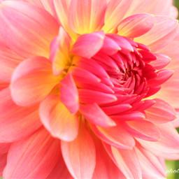 dahlia pink flower canon