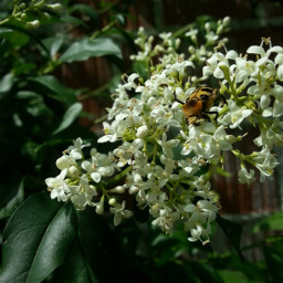 bumblebee nature macro macrophotography freetoedit