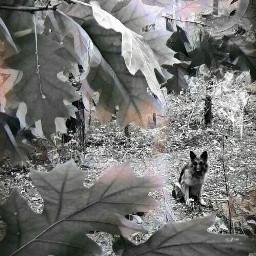 blackandwhite photography clipart magiceffect germanshepherd