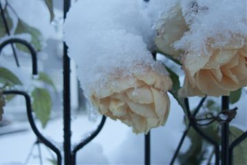 snow nature rose