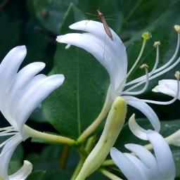 insect honeysuckle flower macro upclose freetoedit